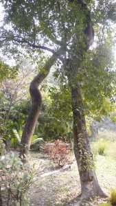 Kolkata, jardin botanique