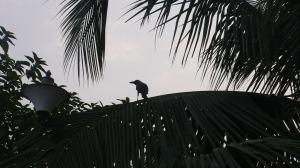 Corbeaux au bord du Gange